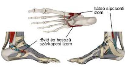 a lábfej anatómiája