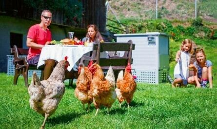 Hühner im Garten bei Familie