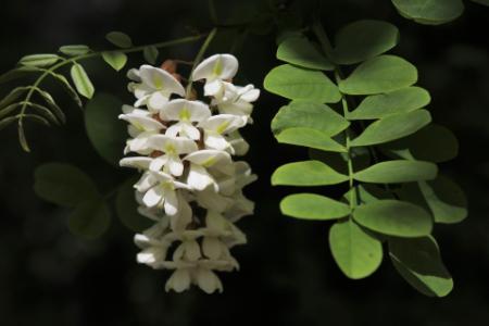 acacia_fiori