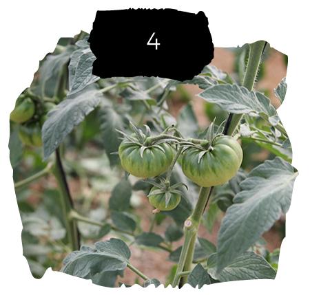 Tomatelover ¿Como es nuestro cultivo de tomates RAF en Almería? 4
