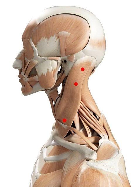 Der Kopfwender (lat. musculus sternocleidomastoideus) erlaubt uns eine seitliche Neigung des Kopfes in Richtung Schulter, eine Streckung des Halses nach hinten.