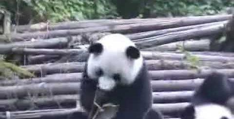 Чихающая панда