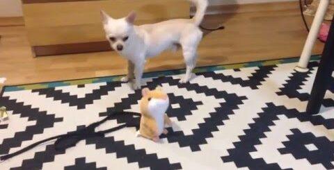 ПРИКОЛЫ! ЧИХУАХУА и говорящий хомяк повторюшка / СМЕШНЫЕ видео домашних животных 2016