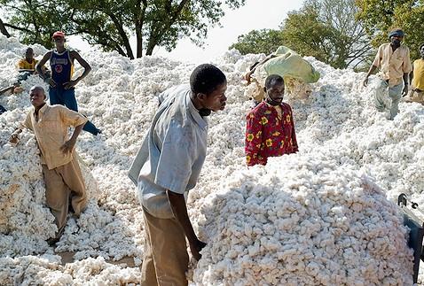 Culture du coton en Afrique