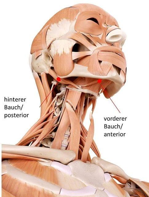 Triggerpunkte in diesen Muskeln kann zu Schmerzen an den unteren vier Schneidzähnen, Zungenbodenmuskulatur und Schluckbeschwerden auslösen.