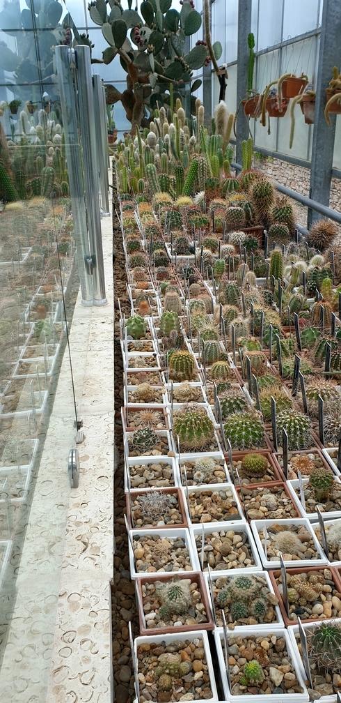 Małe kaktusy poustawiane wdoniczkach wogrodach krolowej marii wbulgarii