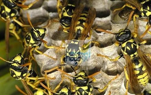 Eliminar avispas y abejas