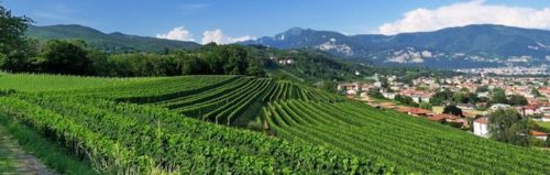 Ticino Swiss Wine Region (Canton) - Grape Vines Grow in Ticino Switzerland
