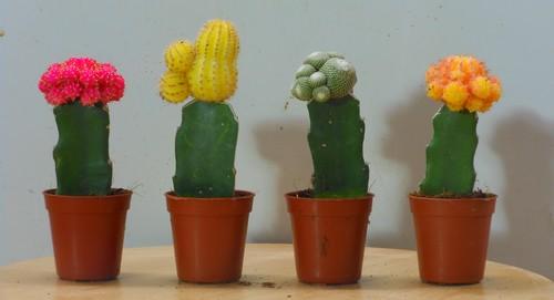 Cactus greffés colorés