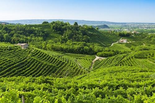 Prosecco vineyards during Summer, Valdobbiadene, Italy.