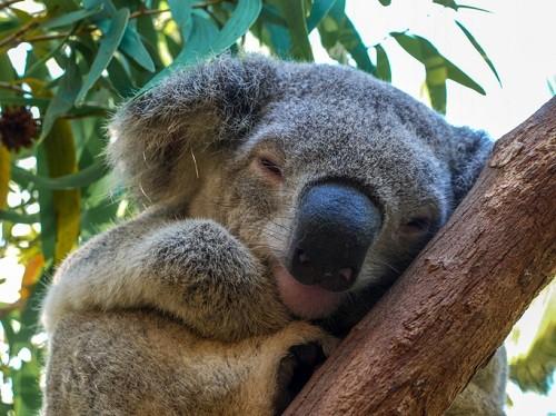 Hold a Koala Bear During a Rainforest Tour - Grand Kuranda Tour operated by Tropic Wings
