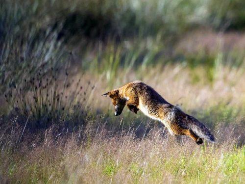 Fotograaf Erwin Van Liempd Jagende Vos Winnende Foto Fotowedstrijd Drents Friese Wold 2018