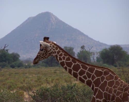 Girafe in Samburu