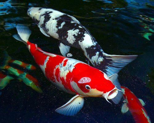 japanese-koi-fish-pond-