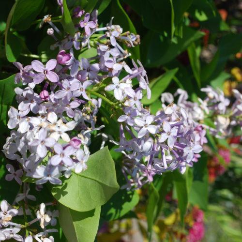 Prairie Petite Lilac Flower Close Up
