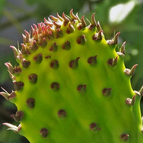 Jeune raquette d'Opuntia ficus-indica