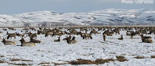 Elk herds in winter at the Elk Refuge