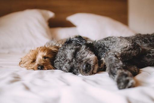 perros durmiendo en la cama de sus dueños. 50 formas en las que los perros se comunican contigo