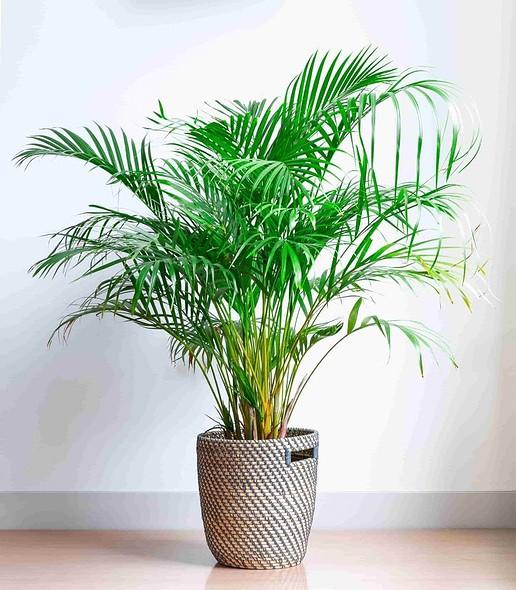 easy plant areca palm in a wicker basket