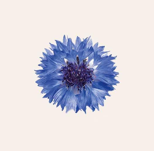 fleur de bleuet bio