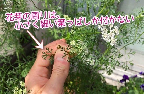 パクチーの花の周りの葉っぱは小さく細い