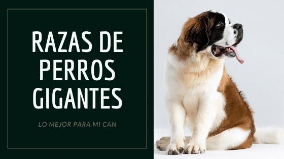 perro san bernardo, raza de perro gigante