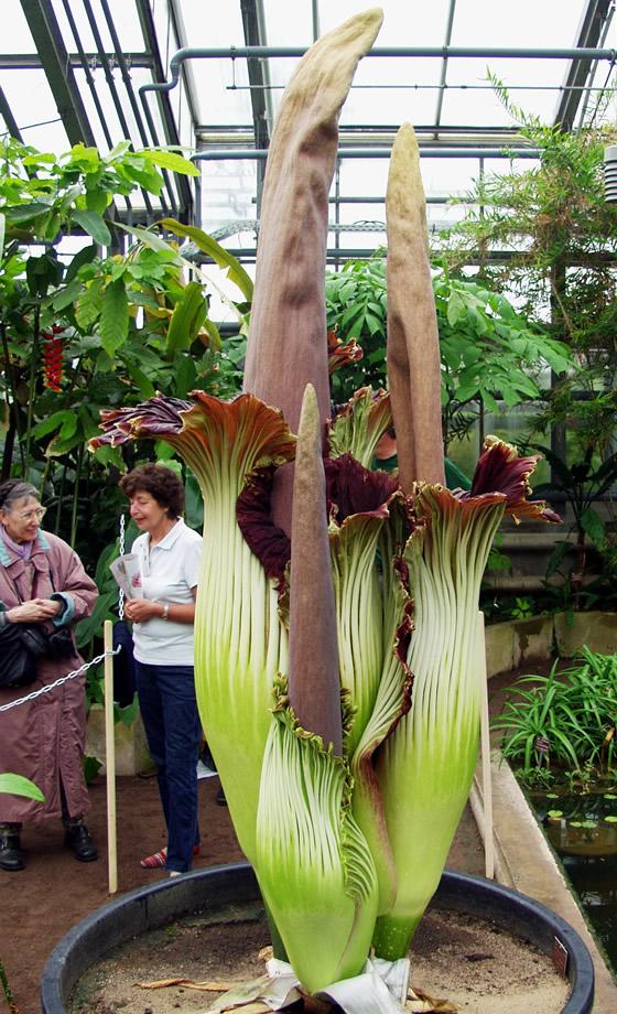 Amorphophallus titanum flor peste carne podrida