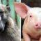 Premieră mondială Babuinii au supraviețuit 6 luni după ce le-au fost transplantate inimi de porci featured_compressed