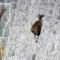 Caprele ce sfidează moartea escaladând zidurile barajelor ca să lingă sare FEATURED_compressed