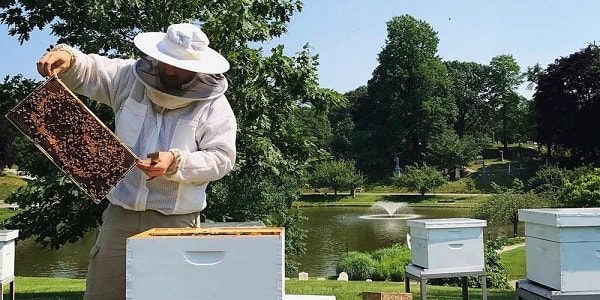 Beekeeper Lifting Frames During an Inspection