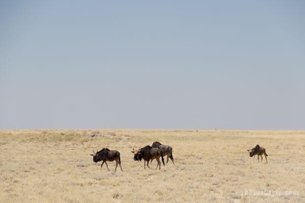Wildebeast in Etosha Park Namibia, Africa   40plusstyle.com