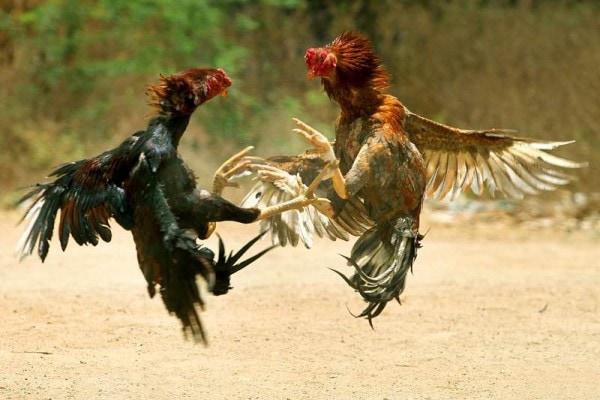 combat-coqs