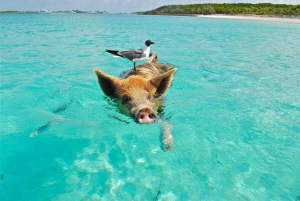 One of the swimming pigs on the exuma islands, bahamas.