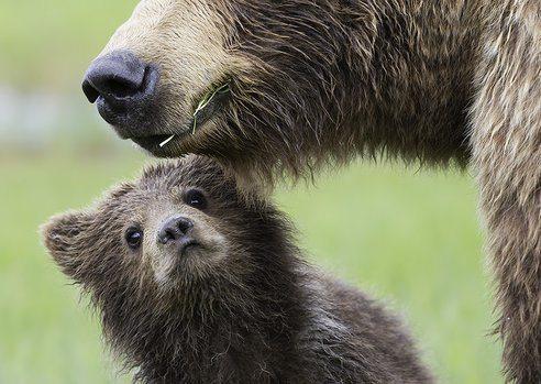 las-mejores-fotos-de-animales-salvajes-osos-familia