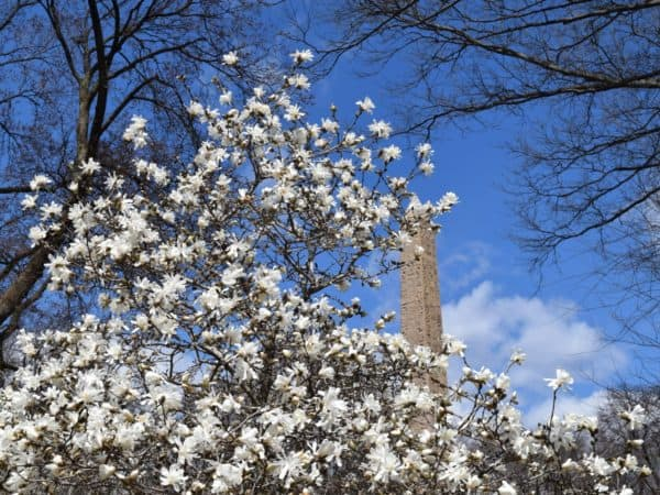White saucer magnolia blossoms near the obelisk in central park. The is always full of spring flowers.