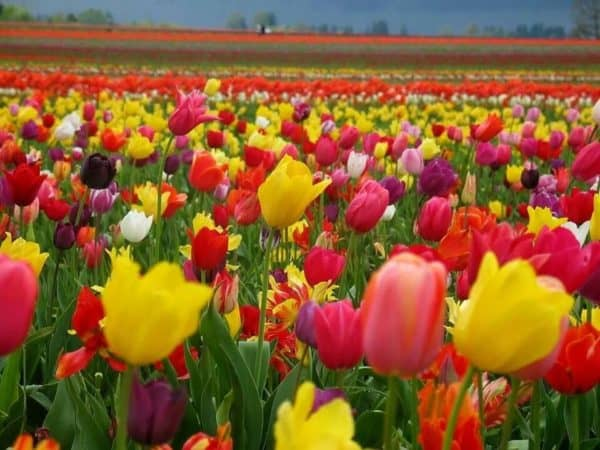 A small sample of the millions of tulips in a riot of color at keukenhof in the netherlands.