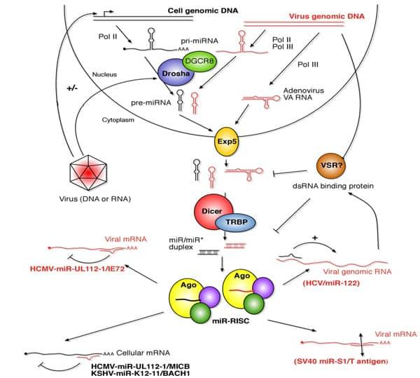 Interactions entre les virus et les voies de répression des ARN