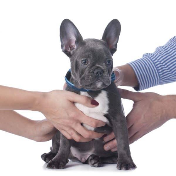 Pet custody: male and female hands pulling on a cute, sad dog
