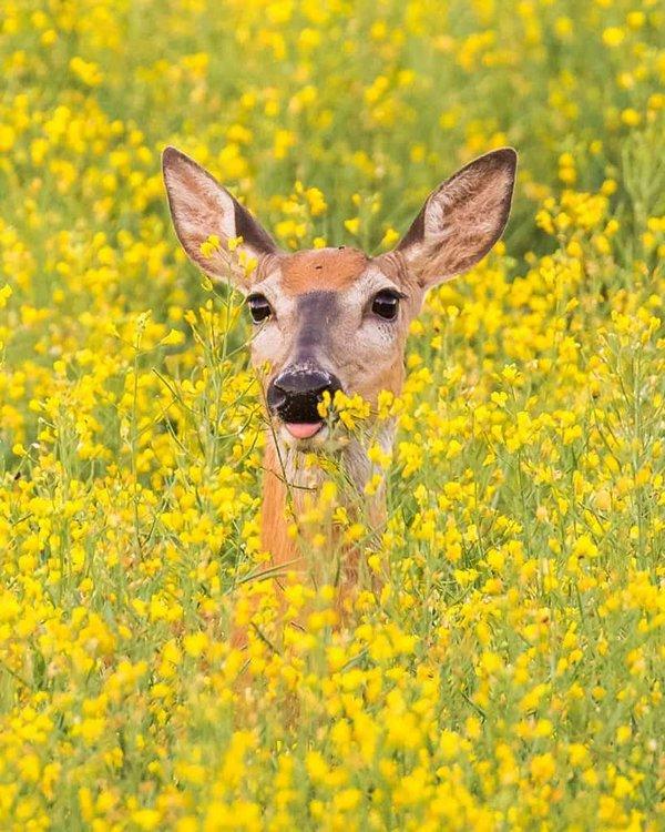 Deer in flowers in Finland