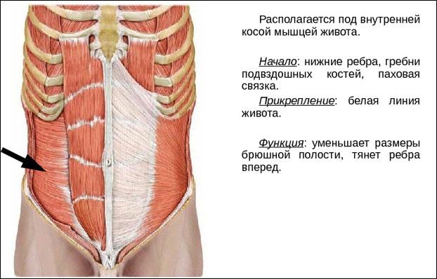 Функции поперечной мышцы