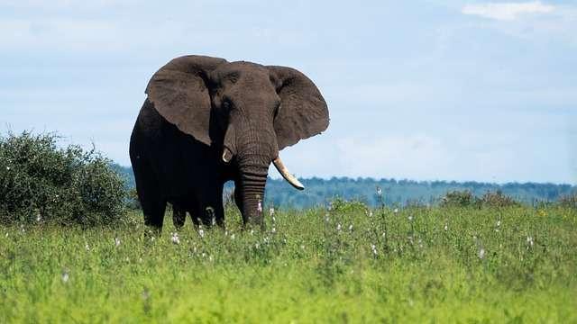 De Afrikaanse Olifant