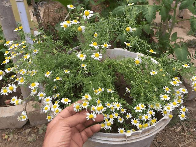 How to Grow Chamomile