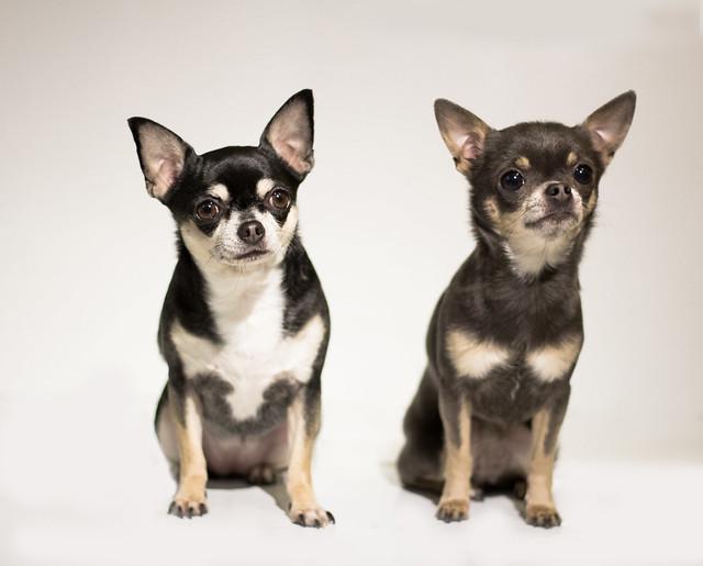 2 Chihuahua sentados de pelo corto