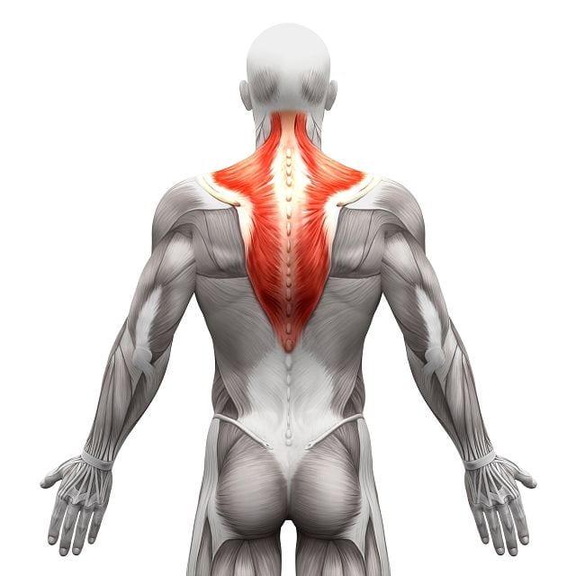Der Kapuzenmuskel (musculus trapezius) kann aufgrund von Fehlhaltungen beim sitzen verspannen und Nackenschmerzen auslösen.