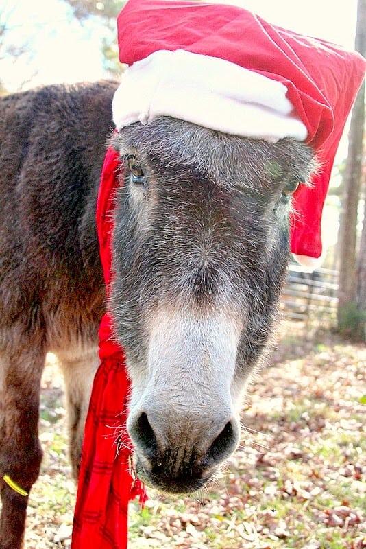 Oreo the donkey