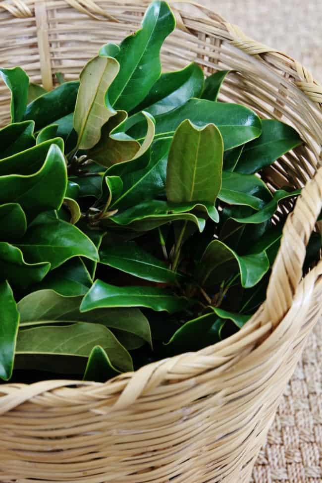 Basket of magnolia leaves