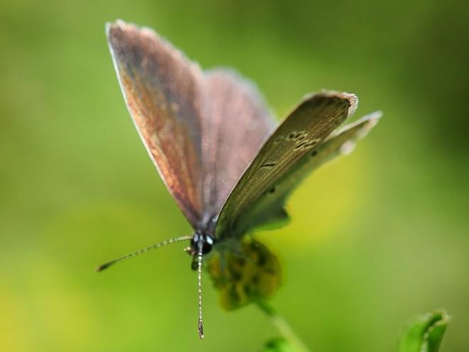 Azuré de la faucille femelle - Cupido alcetas