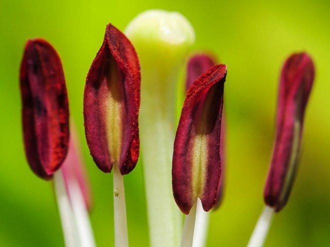 Fleur de lys - Lilium