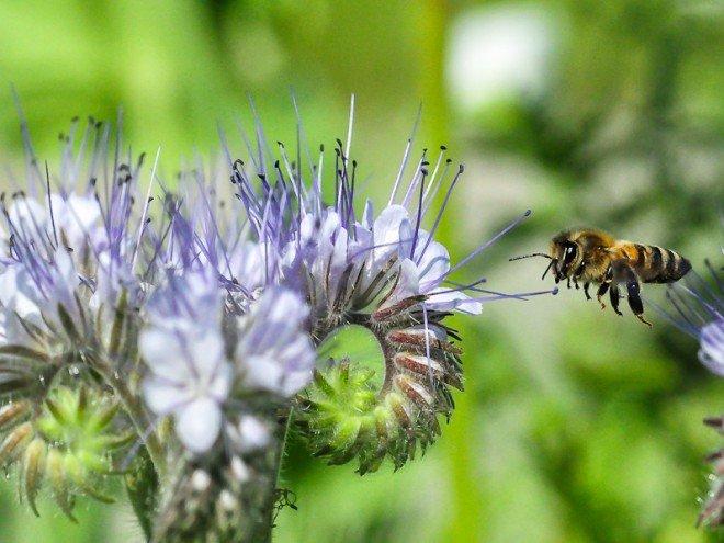 Abeille-fleur de Phacélie