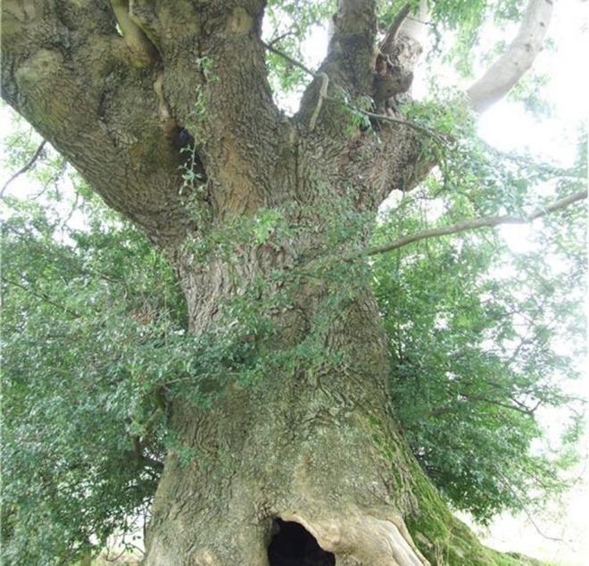 Stinchcombes Ancient Ash